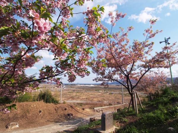 桜ラインの活動で植えられた河津桜